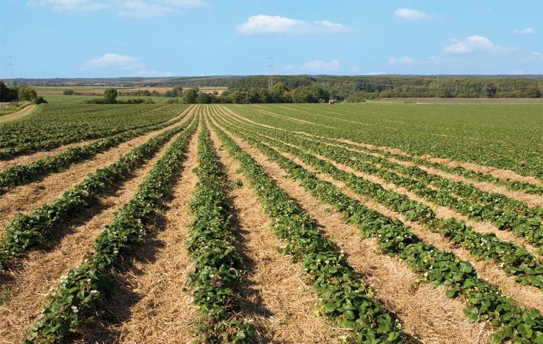 Anbau Erdbeeren