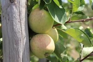 Äpfel Sunrise