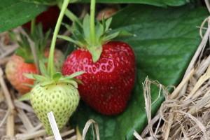 Freilandernte Erdbeeren