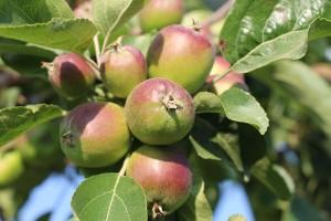 Äpfel im Juni
