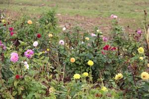Blumen Selbstpflücklanlage