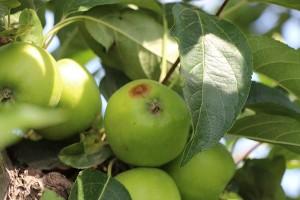 Apfel Sonnenbrand