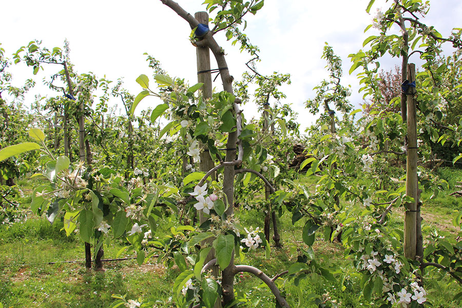 Die Apfelbaumplantage im Mai