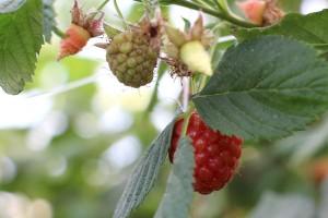 Täglich reifen Früchte