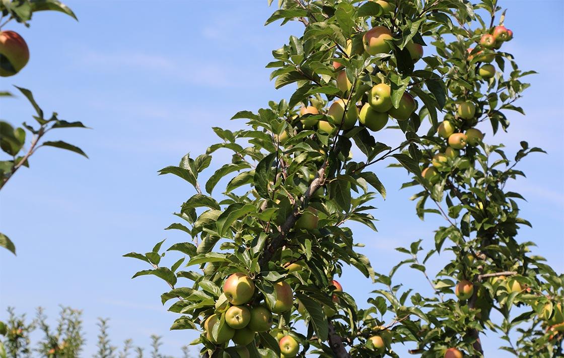 Apfelbaum August