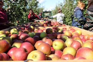 Apfelernte Boskop
