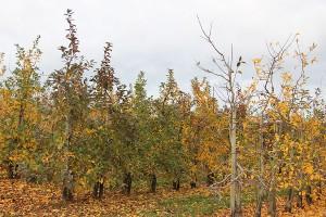 Apfelplantage November