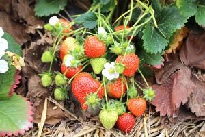 Erdbeeren November