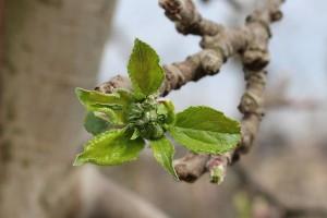Apfelblüte Boskop